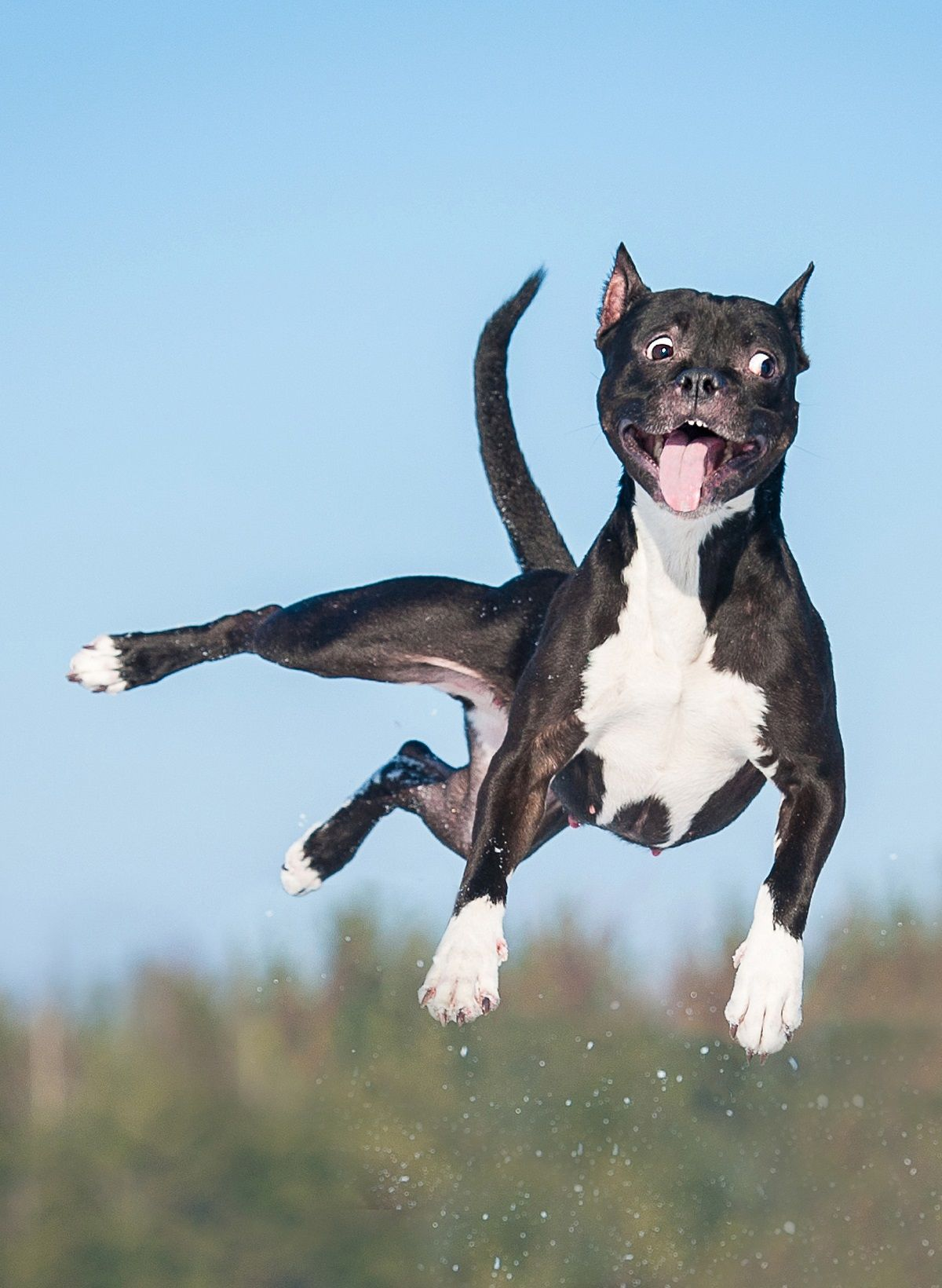 Funny American Staffordshire Terrier Dog With Crazy Eyes Flying In The Air Funny Dogs Funny Dog Videos Dogs