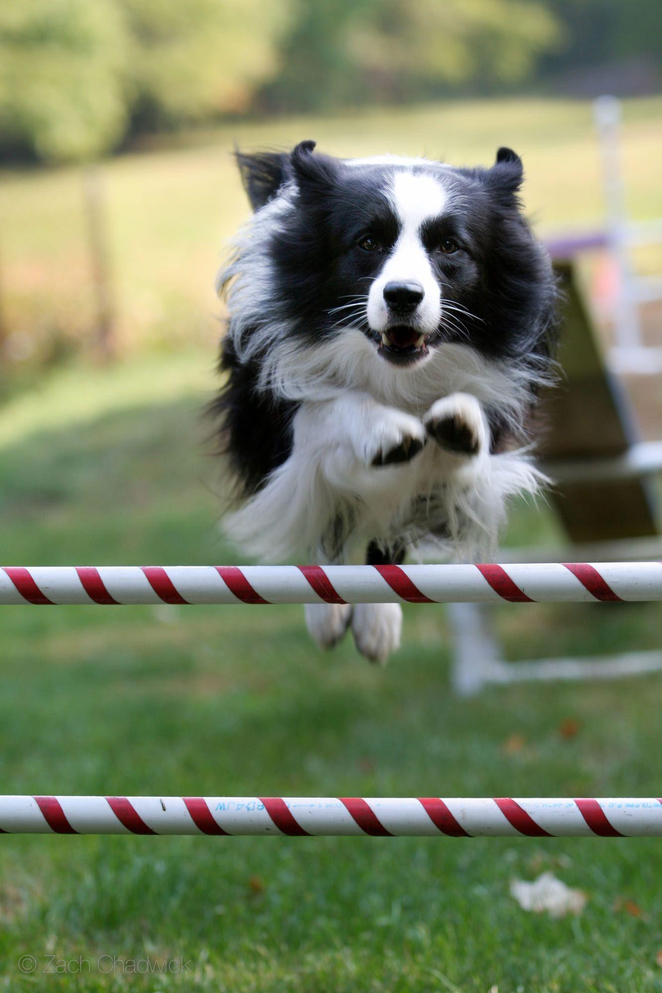 Border Collie Agility Training Your Dog Dogs Border Collie Dog