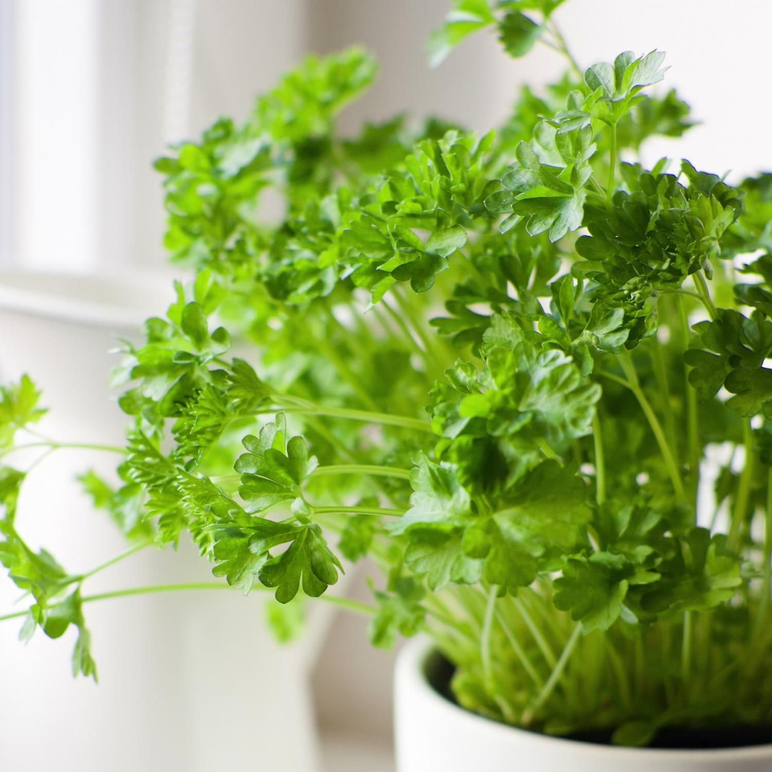 the nine easiest herbs to grow indoors with lots of very specific