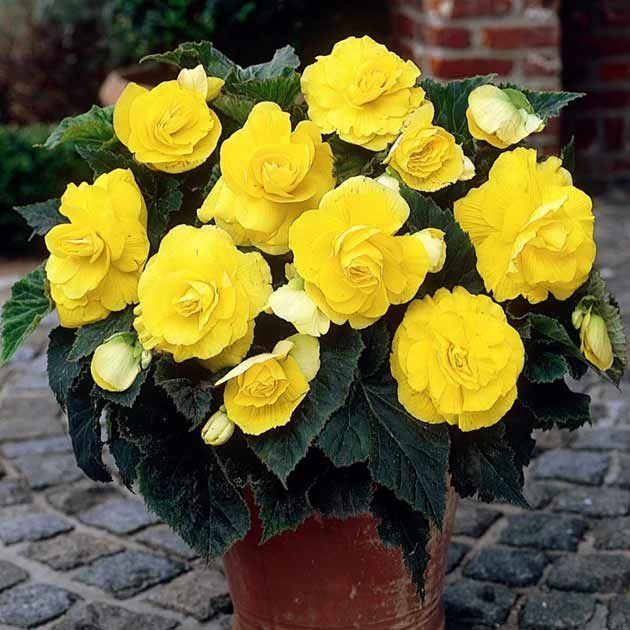 Yellow Begonia Flowers Flower Meanings Pictures And Photos Container Flowers Begonia Yellow Flowers