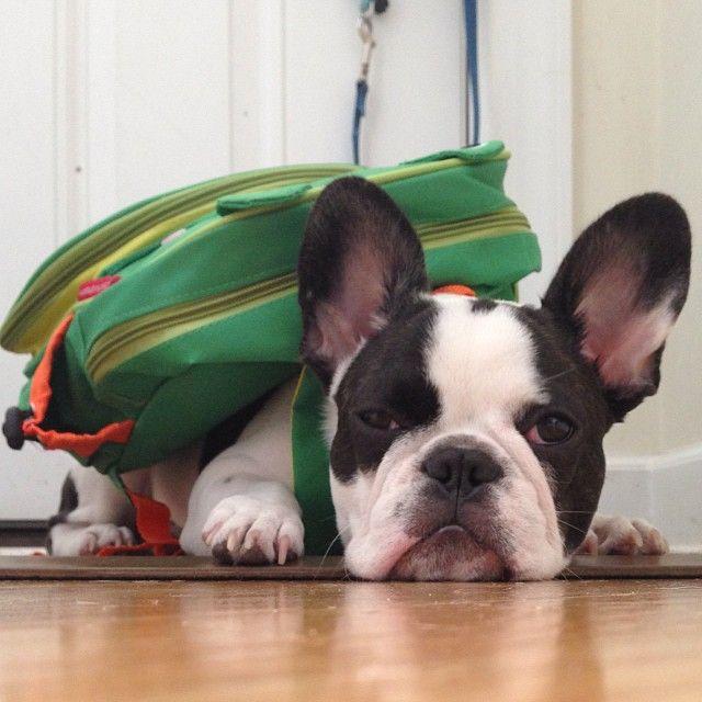 'Back to School....again', French Bulldog