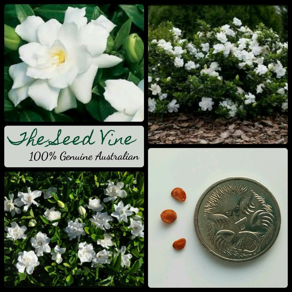 10 Cape Jasmine Seeds Gardenia Jasminoides Hedge Flower Fragrant Bonsai Rose Seeds Gardenia White Climbing Roses