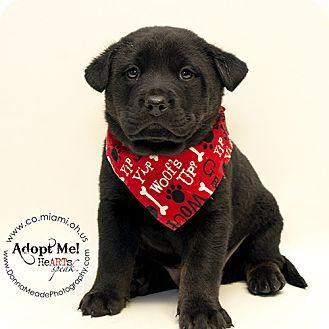 Adopted Troy Oh Labrador Retriever Chow Chow