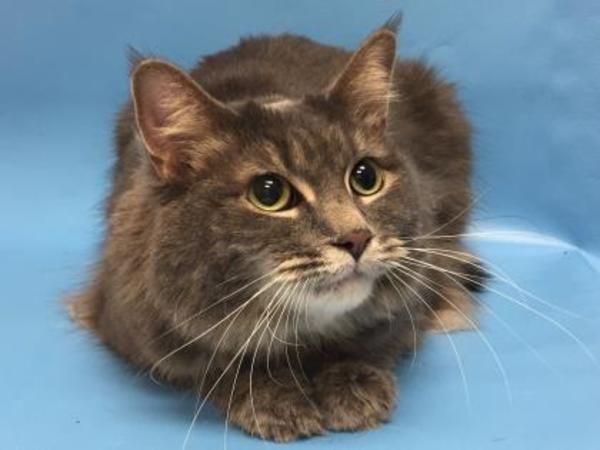 Domestic Long Hair Domestic Short Hair Cat For Adoption In Woodbury Cat Adoption Kitten Adoption Cats