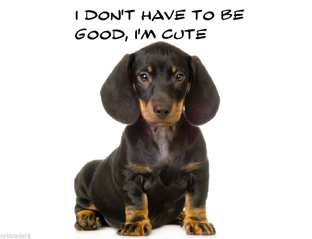 Miniature Dachshund Puppies For Sale In Chandler Arizona