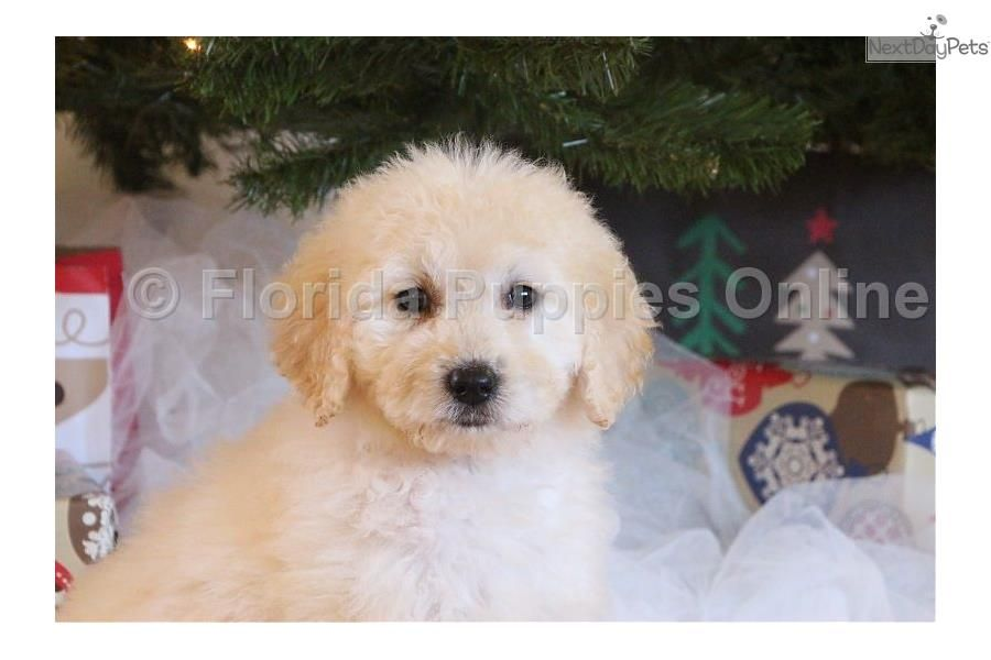 Sandy Female F1b Goldendoodle Goldendoodle Puppy For Sale Near Ft Myers Sw Florida Florida 514948ae F8 F1b Goldendoodle Goldendoodle Goldendoodle Puppy