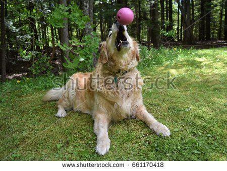 Golden Retriever About To Catch Ball Photo Editing Stock Photos