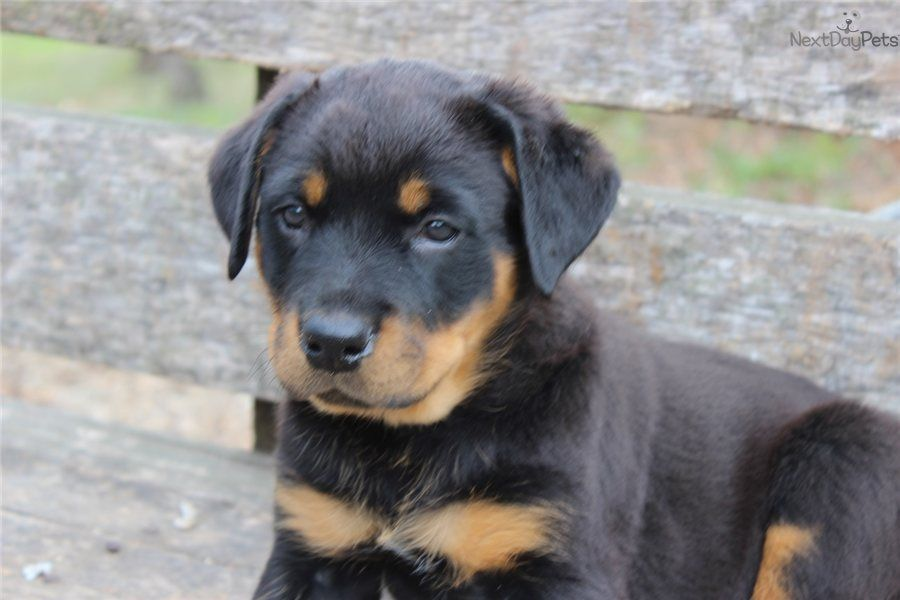 Rottweiler Puppy For Sale Near Springfield Missouri 396d75e6
