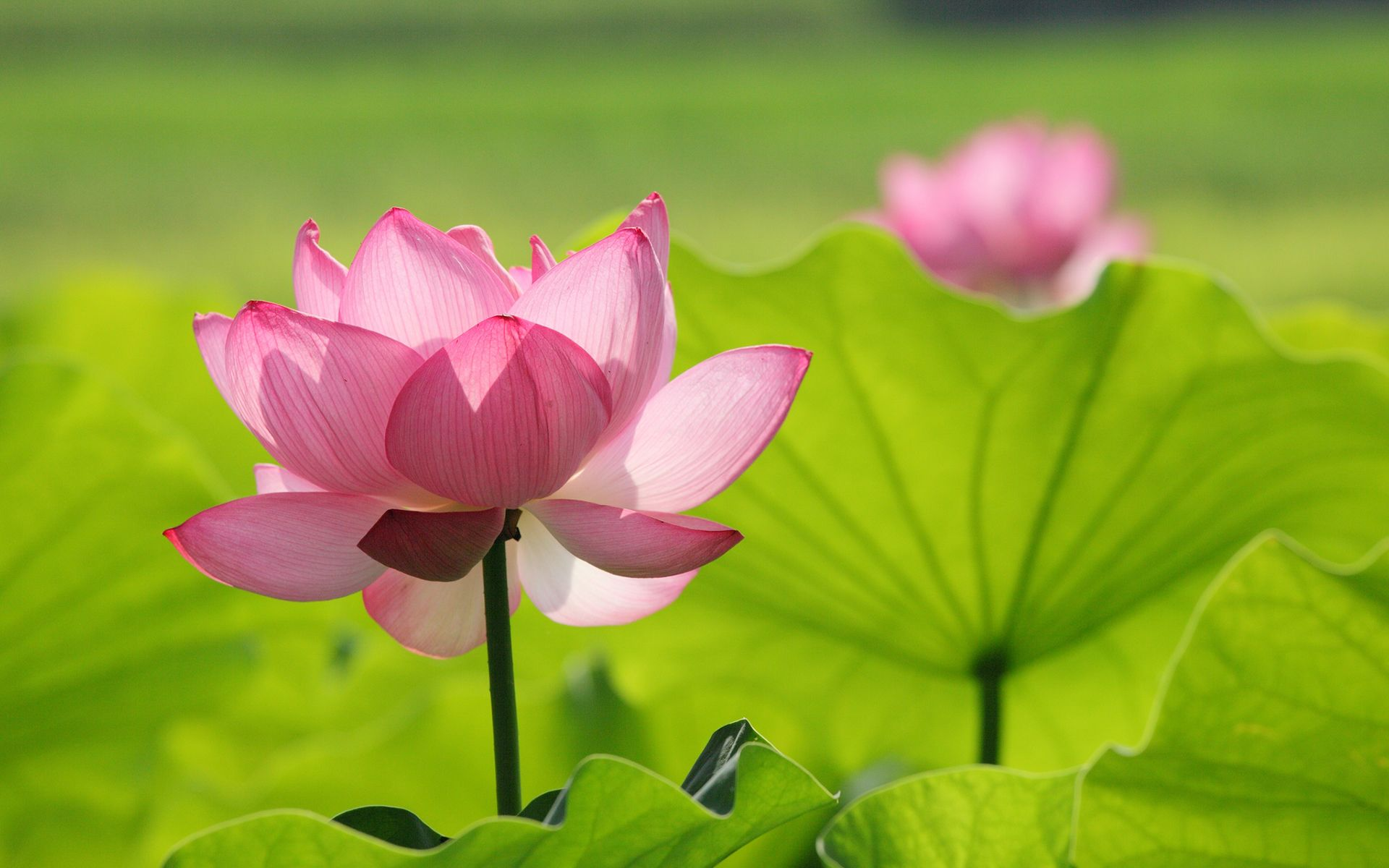 Lotus Flowers Wallpapers HD Pictures One Wallpaper