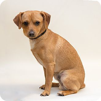 Troy, OH Chihuahua/Dachshund Mix. Meet Odie, a dog for