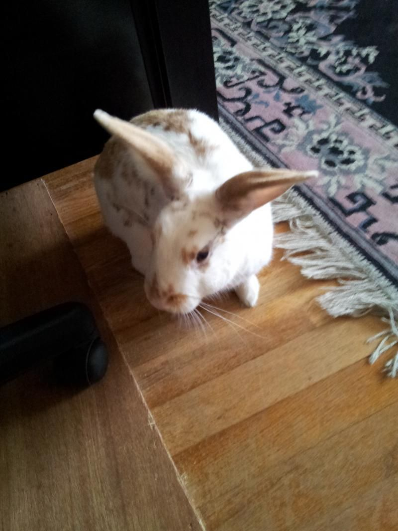 Adopt Chippie On English Spot Rabbit All About Rabbits Adoption