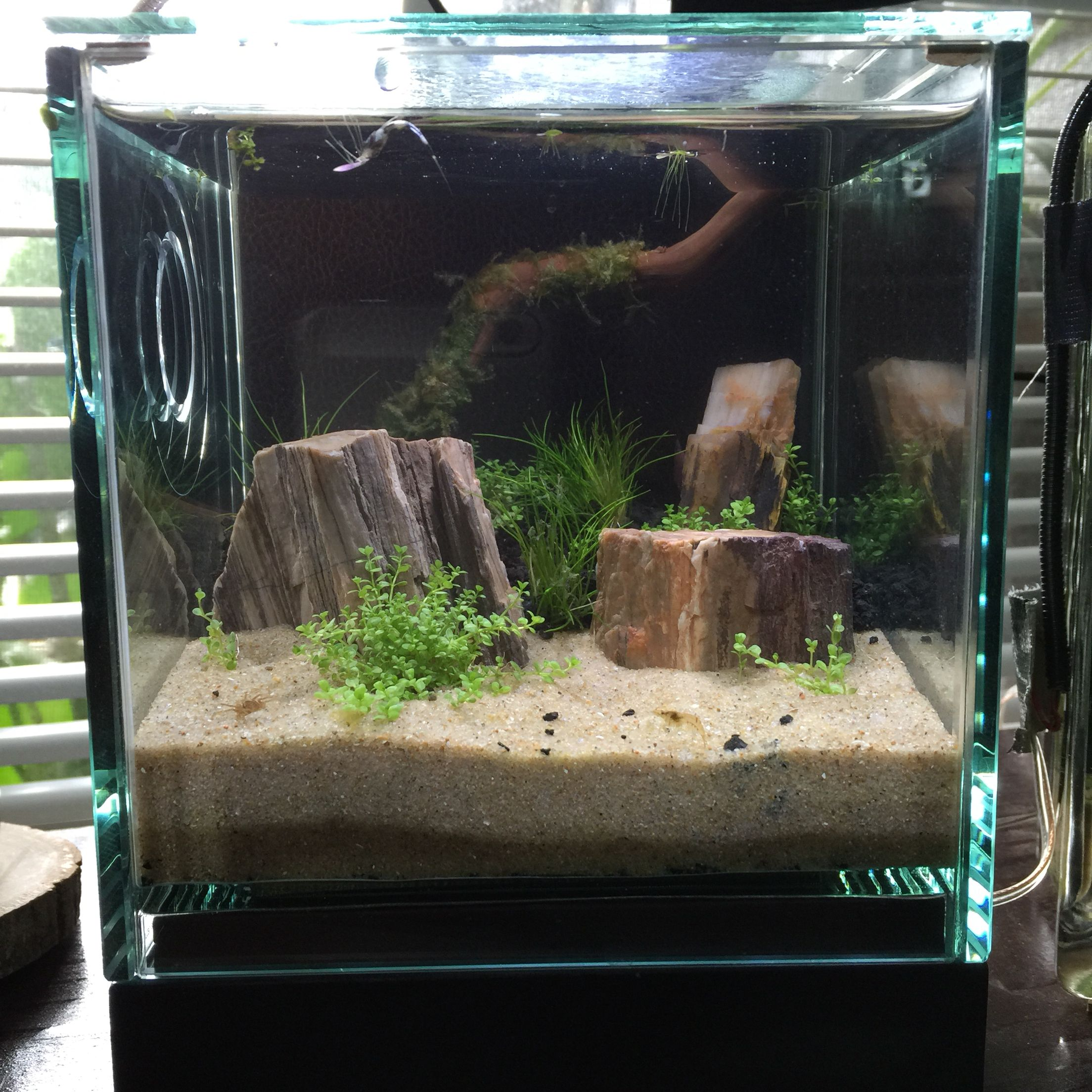 My New Shrimp Tank 1 2 Gallon No Filter Just Light Low Maintenance Shrimp Tank Fish Tank Freshwater Aquarium