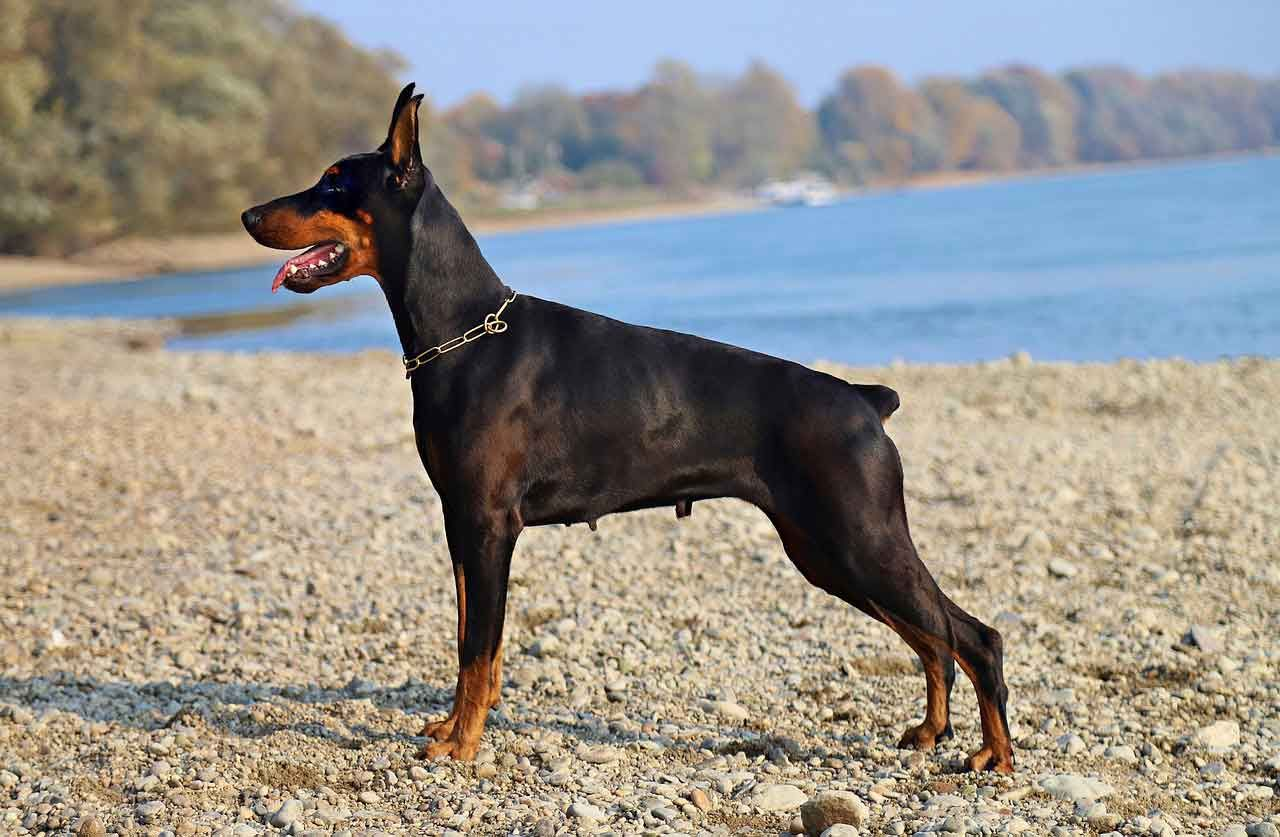 Doberman Character Health Nutrition Doberman Dogs Famous Dogs
