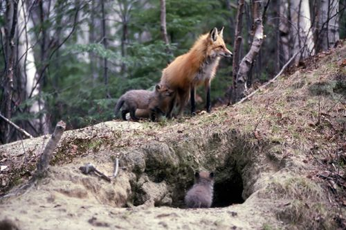 Fox Den. Red Foxes Usually Have Multiple Dens In Their Territory, One Large  One For Winter Living, Birthing And Rearing Their Young, And Other Smaller  Dens ...