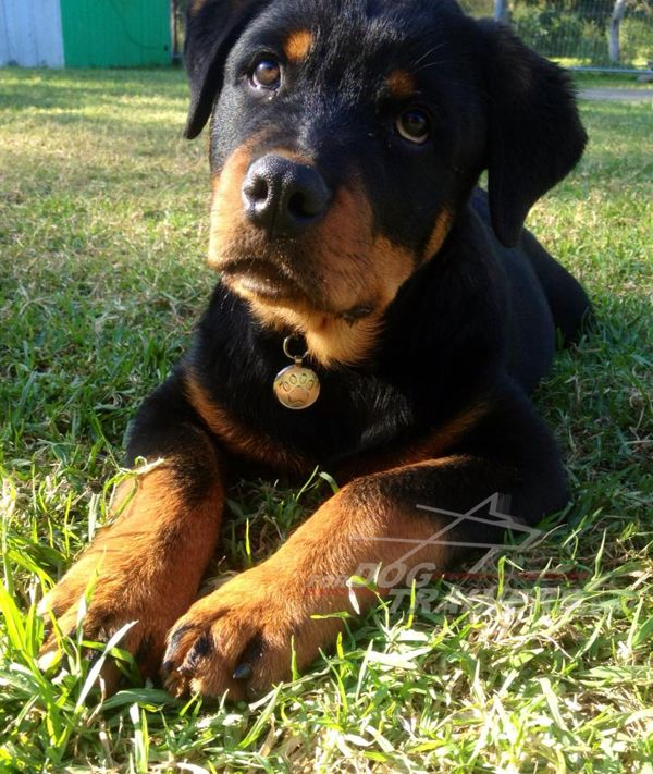 Vader Rottweiler 16 Weeks Old Loves To Play With Water Photo