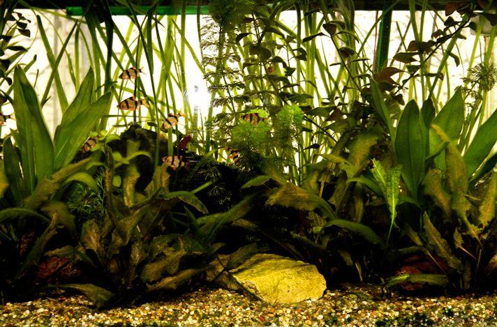 Aquarium Plants As Fish Food Petcha Planted Aquarium Plants Cool Fish Tanks