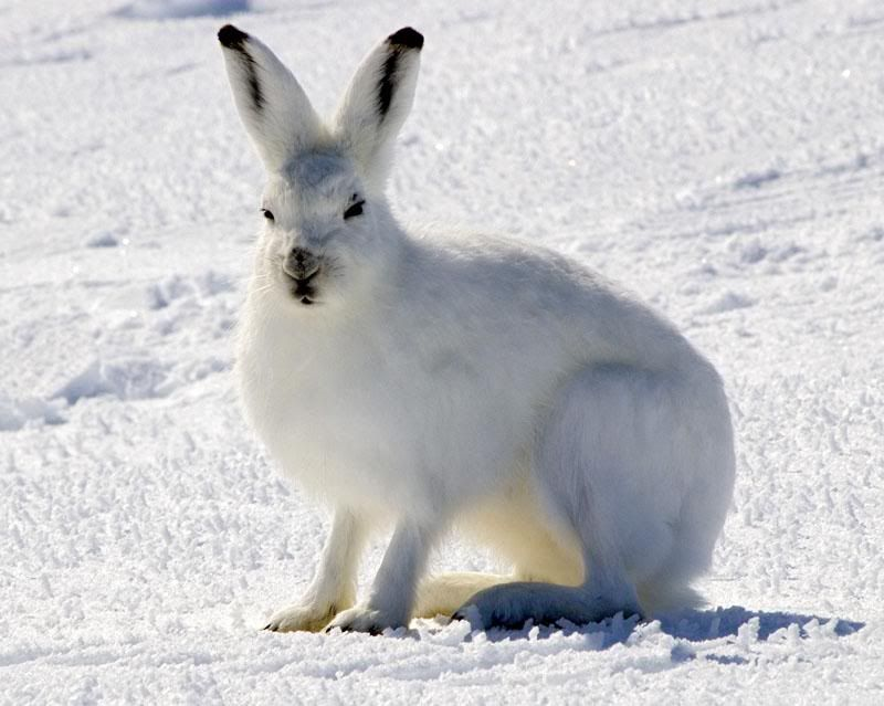 Arctic Hare | Lepus arcticus | Wildlife of North America ...