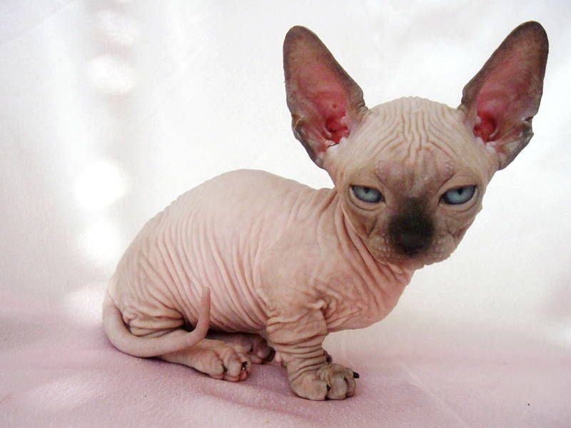 siamese cats hairless photos