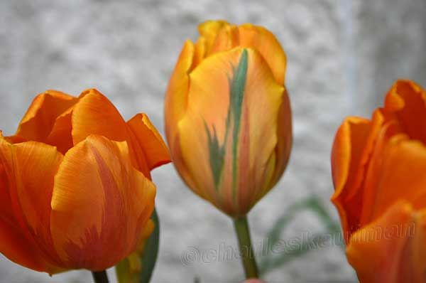 What pretty yellow and orange and green(!) tulips! From my backyard.