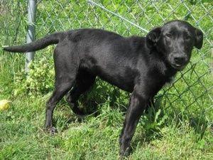 Adopt Atlantis On Labrador Retriever Dog Retriever Dog Dogs