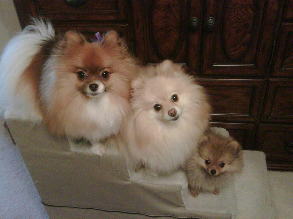 Cute little family pomeranian puppies pomeranian dog dogs