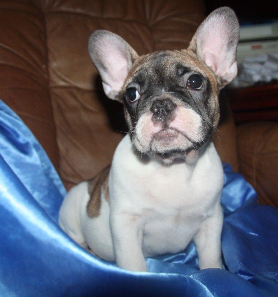 A List Of French Bulldog Breeders In Kansas French Bulldog