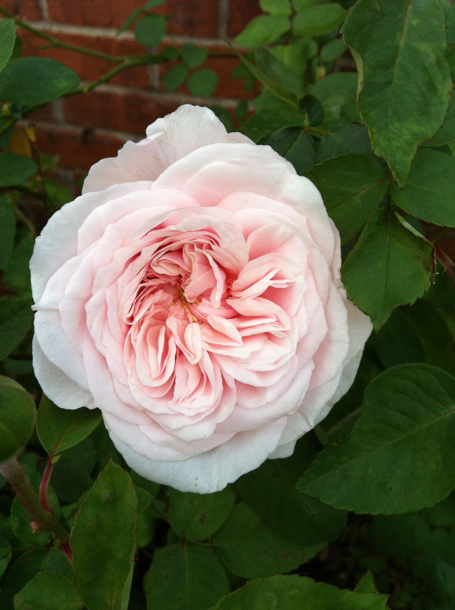 Souvenir de la Malmaison, a Bourbon Rose