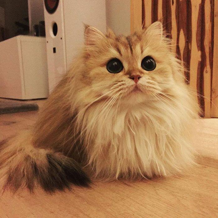 Fotos de gatos pelo largo