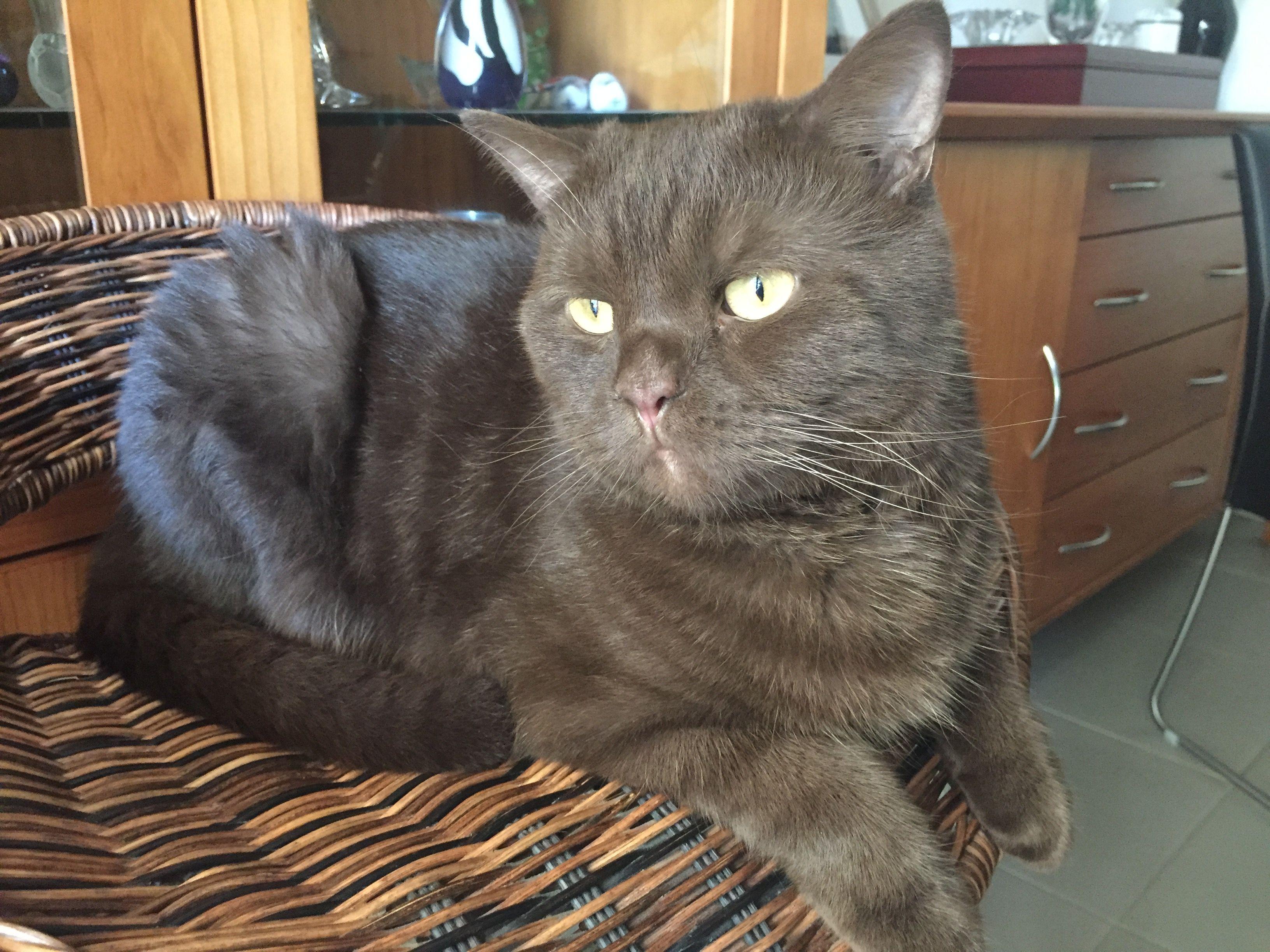 My Chocolate British Shorthair Cat Wookie