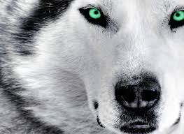 Cute Green Eyed Siberian Husky Wolf Eyes Beautiful Dogs
