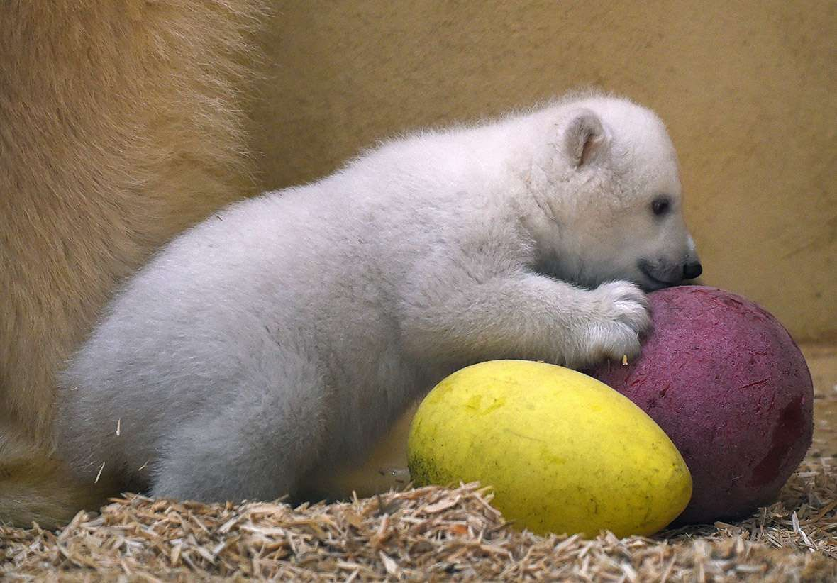 Polar bear cub plays with some egg-shaped balls - Carmen Jaspersen/AFP