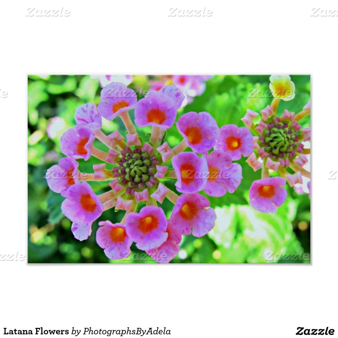 Latana Flowers Posters Zazzle Pinterest Flowers And