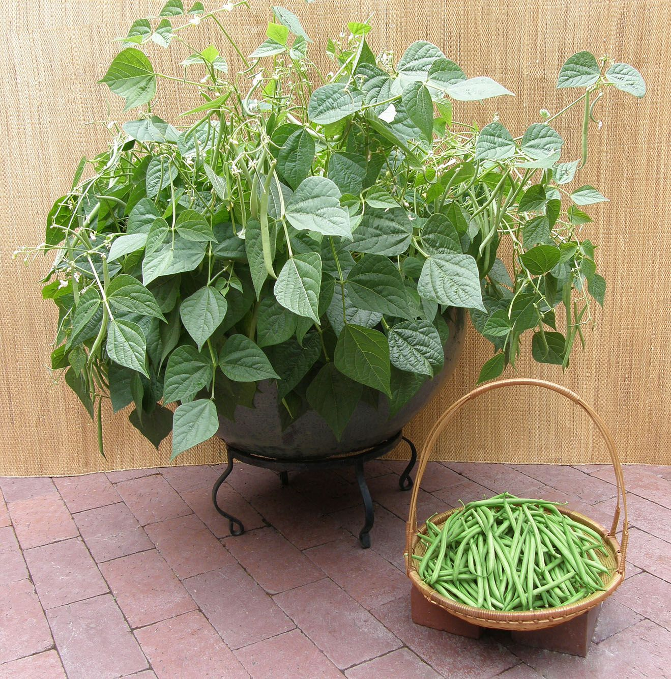 Container bush beans french