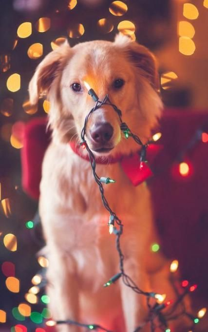 27+ ideas photography ideas dog christmas lights for 2019 #dogsphotography