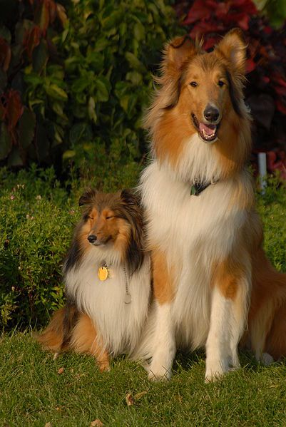 Kohler The Black Tan And White Tricolor Rough Collie Is Standing