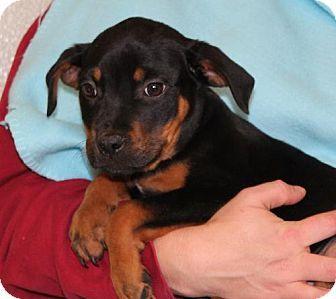 Prattville Al Rottweiler American Bulldog Mix Meet Chewie