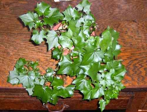 German Ivy | English Ivy/Hedera Helix | Ivy plants ... on poison ivy plants, plant ivy plants, perennial ivy plants, small ivy plants,
