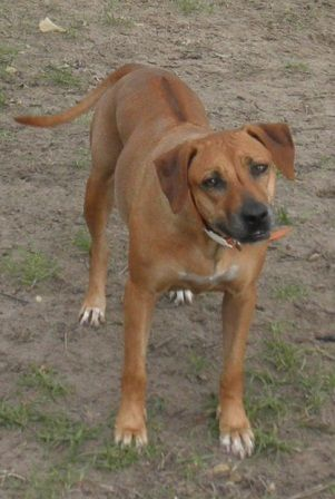 Adopted Texas Sabrina 3960 Is An Adopted Rhodesian Ridgeback A Sweet Compact Ball Of Energy Her Fave Thing At Her Dogs Rhodesian Ridgeback Dog