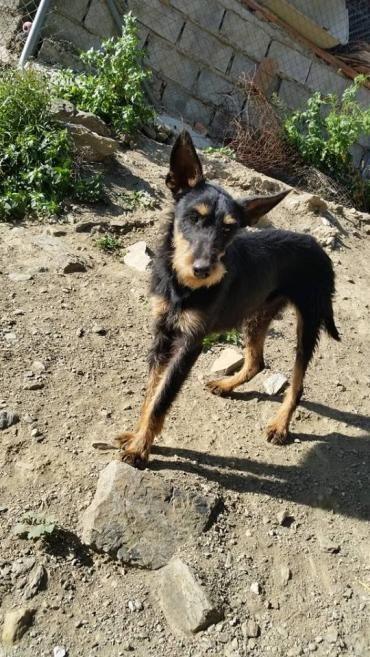 Jackie Jrt Jackrussel Jackrusselterrier Dog Dogs Cute Love