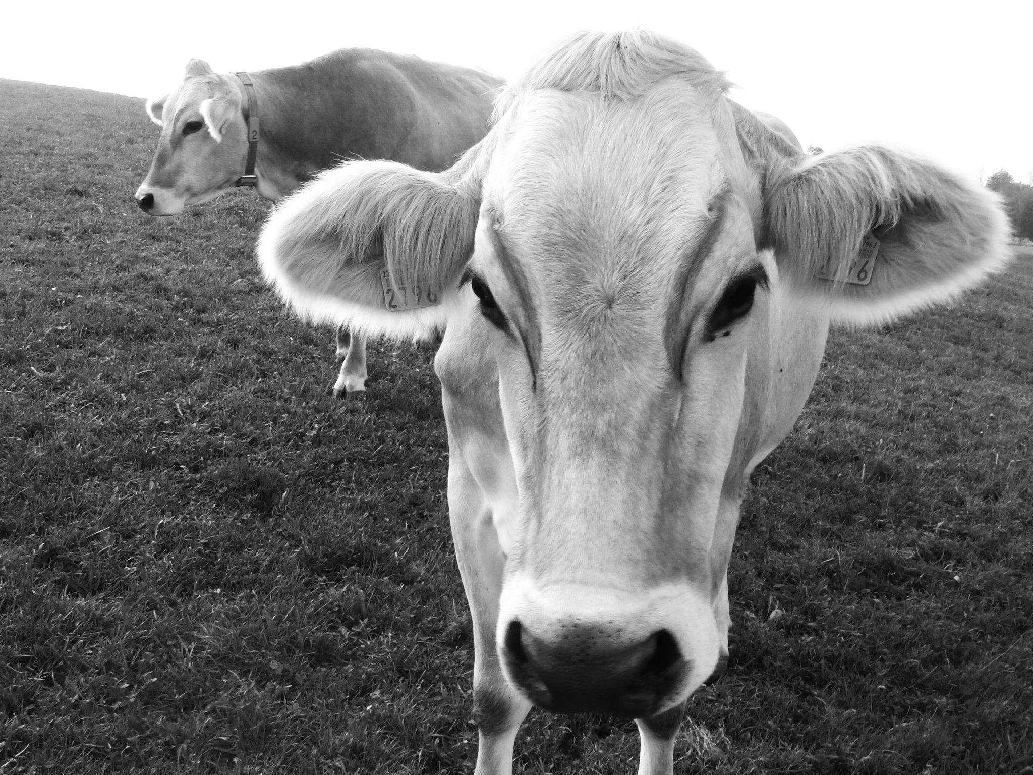 Milka © Tesa de Buru Zurich, 2007