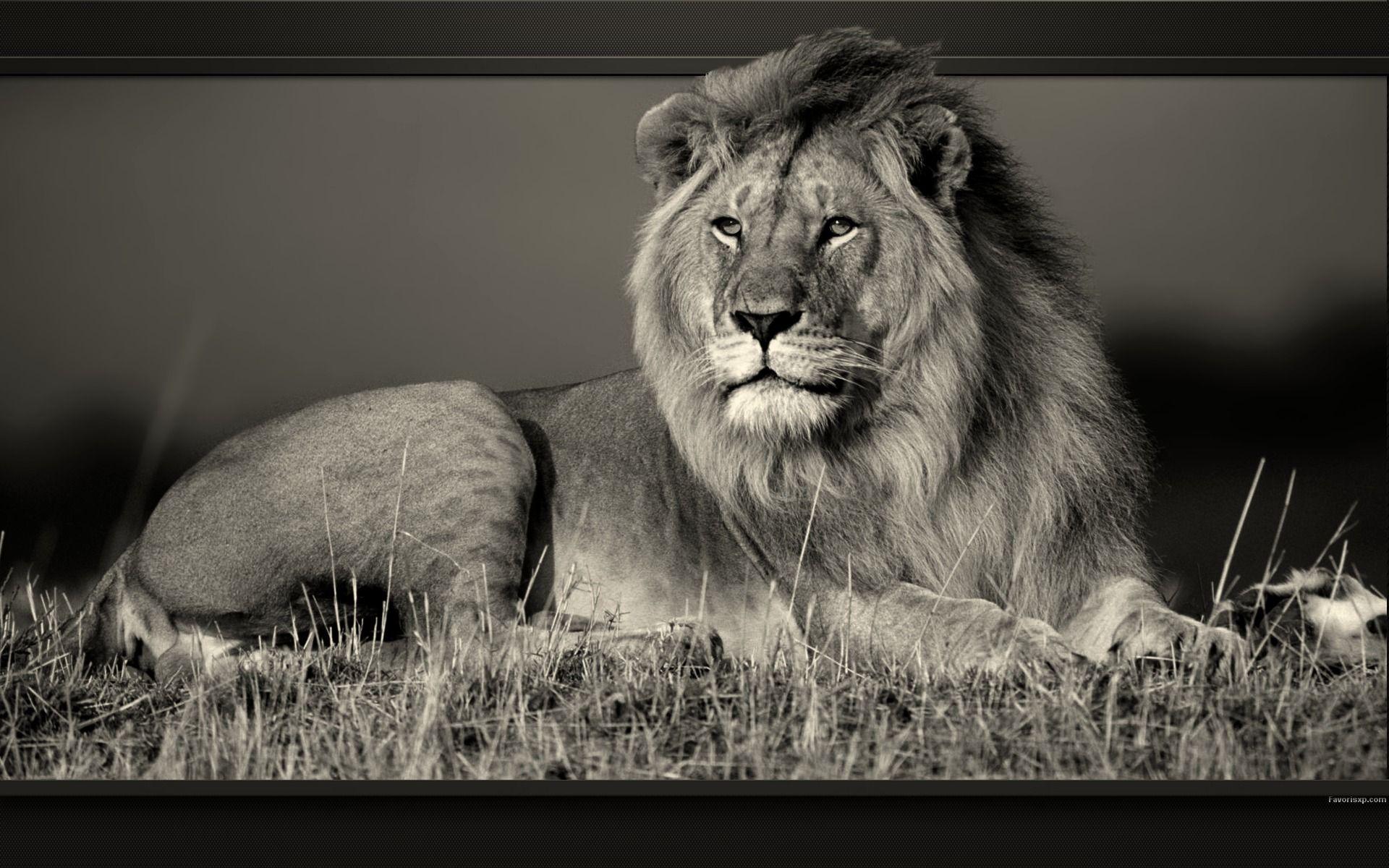 Fonds D Ecran Lions Photos En Noir Et Blanc De Felins Pour Pc Animaux Photos De Lion Animaux Africains