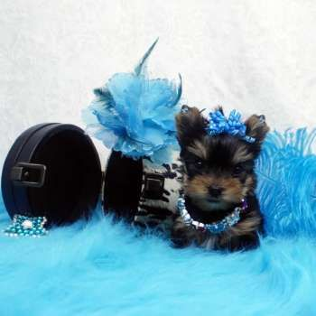 Micro Yorkie Pup For Sale Yorkie Puppies For Adoption Teacup Yorkie Puppy