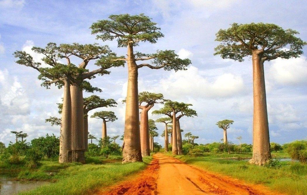 Madagascar - Avenida de Baobas
