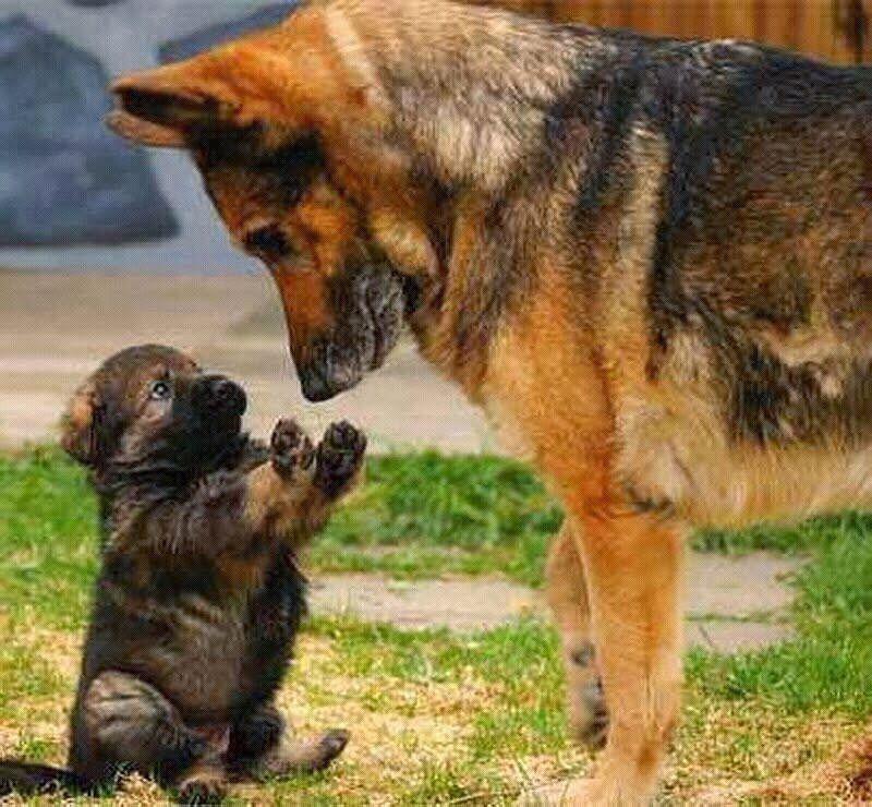 Image Jpg 15141 800 740 Perros Cachorros Perros Pastores Perros