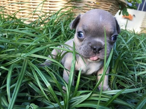 Litter Of 8 French Bulldog Puppies For Sale In Riverside Ca Adn