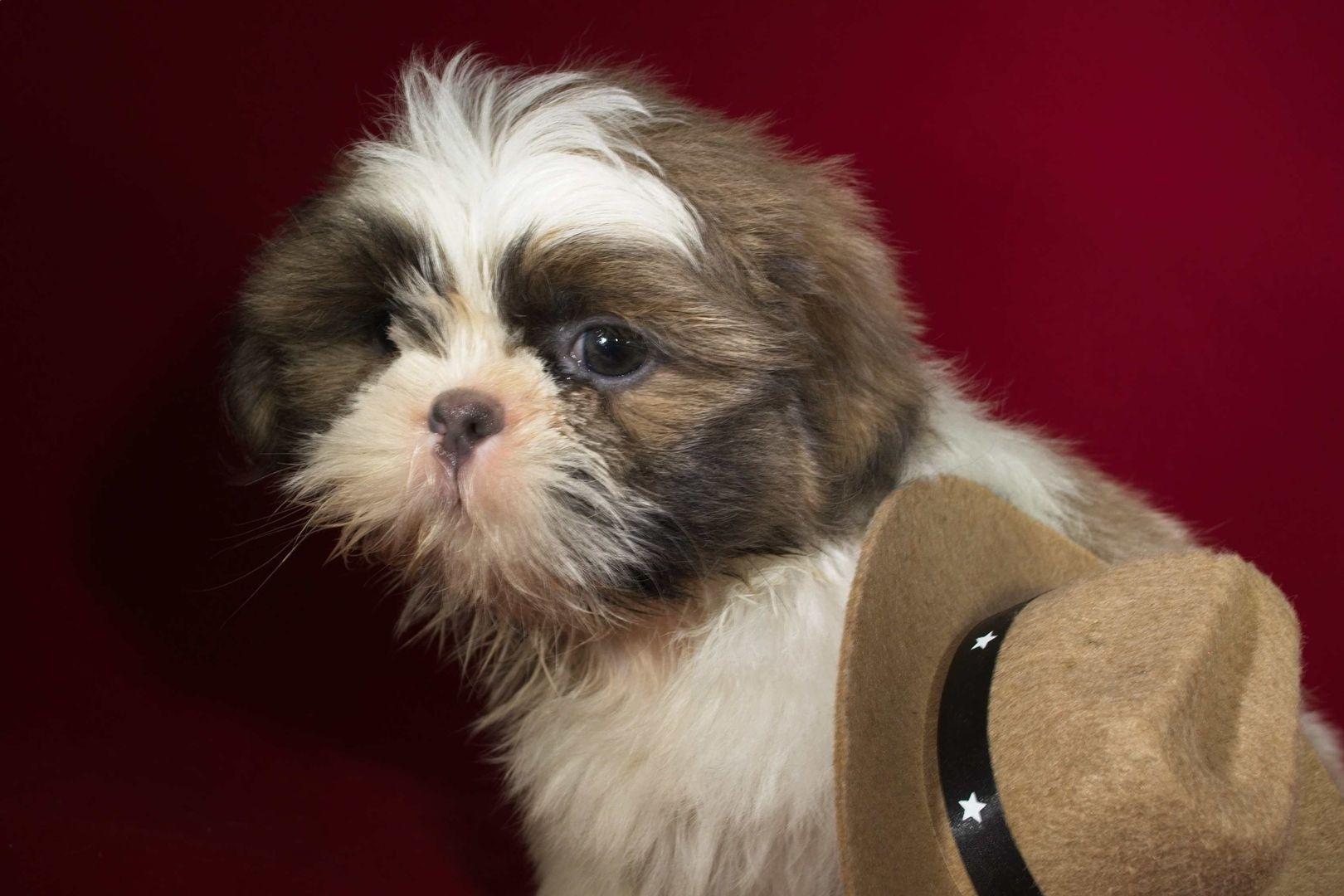 Http Www Mysticmountainkennels Com Puppies For Sale Html Puppies Yorkshire Terrier Shih Tzu Puppy
