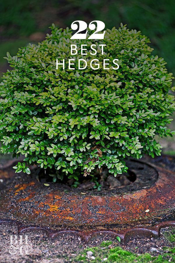 22 of the Best Plants You Can Use for Hedges