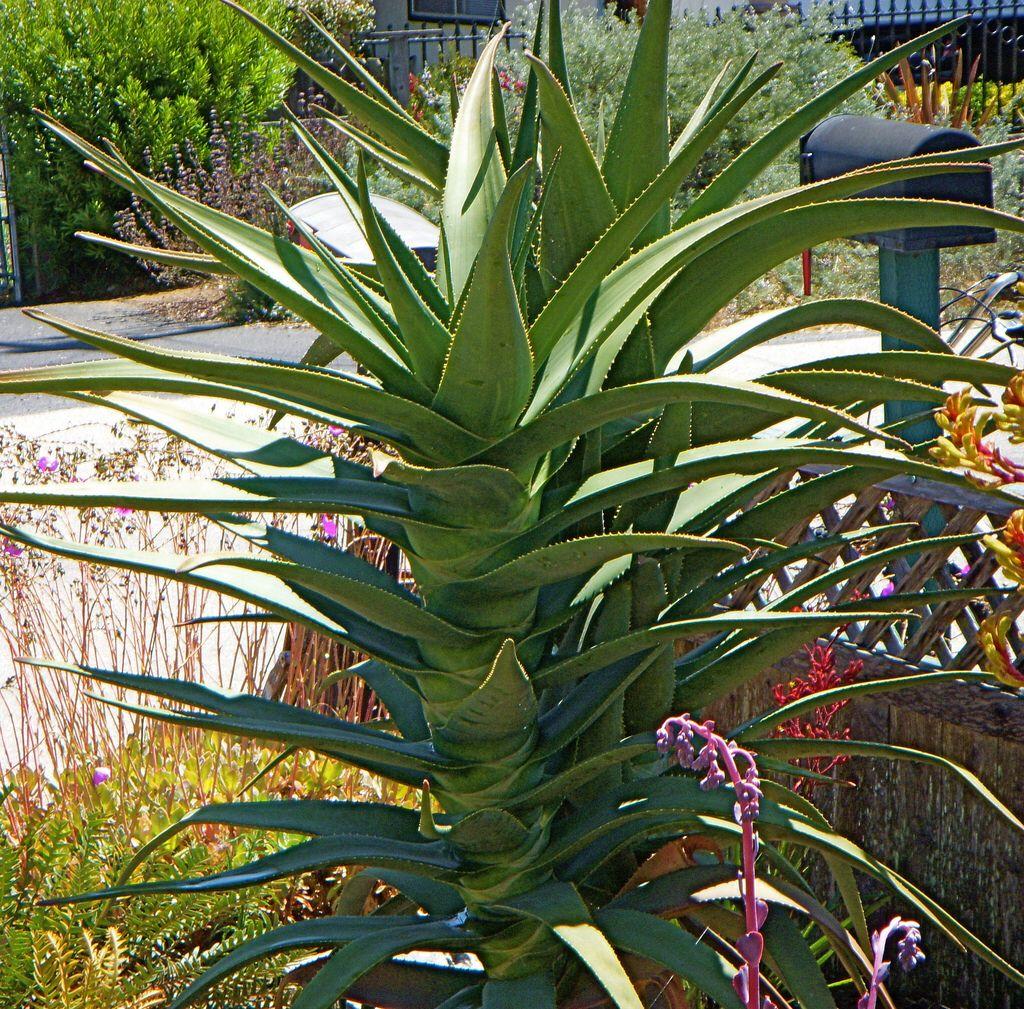 Aloe Hercules Garden Succulent Cactus 1 Cacti