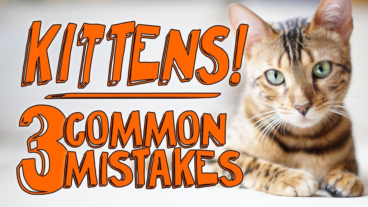 3 major mistakes with new kittens kittens pet safe pet
