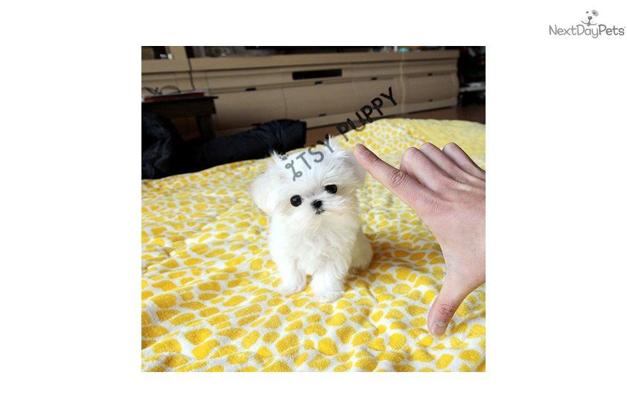 You'll love this Female Maltese micro teacup puppy looking